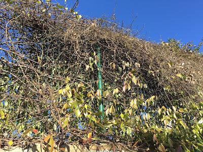 Trachelospermum jasminoides – commonly known as falso gelsomino or false jasmine or rincospermo and Lonicera caprifolium – honeysuckle