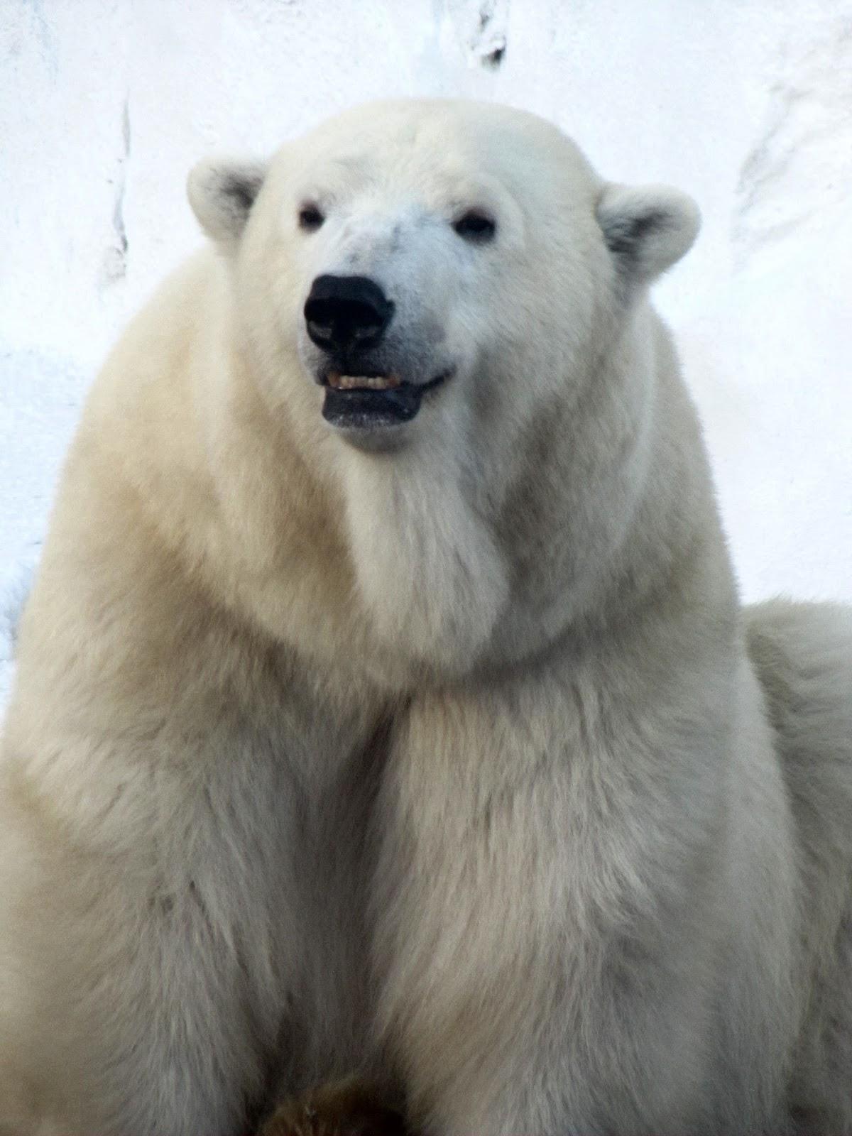 Snowflake of the Pittsburg Zoo My Polar
