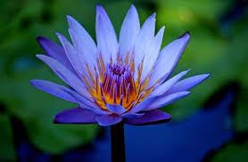 Blue Lotus Nymphaea Caerulea Ethnobotanical Alchemist