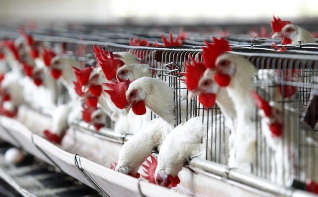 ¿Por qué no deberías comer alitas de pollo?