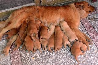 Köpeklerde Hamilelik Dönemi Nasıl Geçer