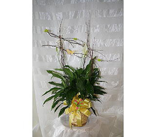 how to care for a spathiphyllum