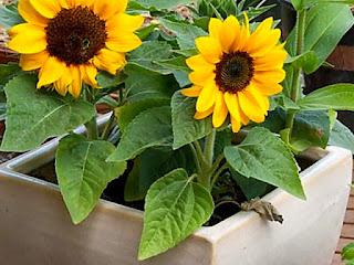 menanam-biji-bunga-matahari.jpg