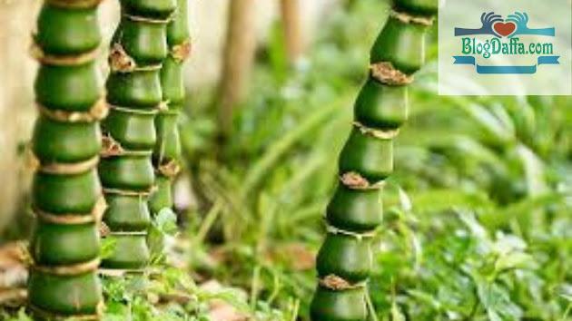 Bambu Gendang