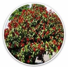 Jammu and Kashmir Medicinal Plants Introduction Centre ... Kashmiri Saffron Corms For Sale