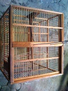 Burung Ciblek - Macam-Macam Jebakan Burung - Penangkaran Burung Ciblek
