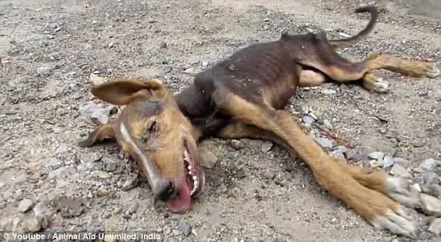 Chú chó sắp chết vẫn vẫy đuôi khi thấy đội cứu hộ