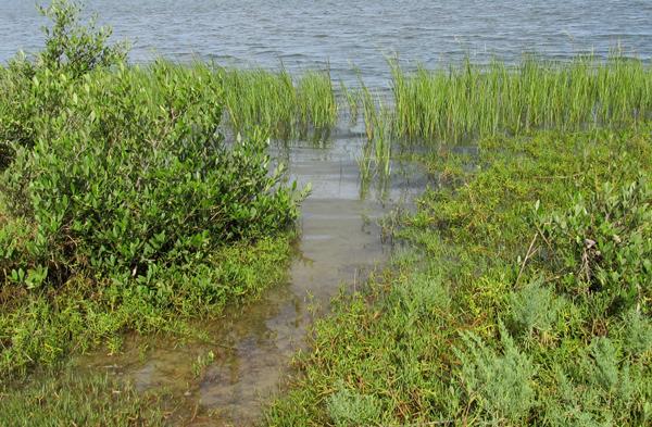 Estuaries - Main Page  Estuary Plants