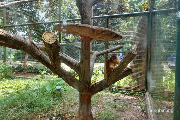lutung budeng kebun binatang ragunan jakarta