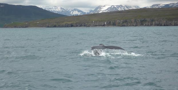 whale watching a Dalvik humpback whale