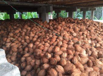 CoconutIndia com - Coconut Suppliers in Peravurani