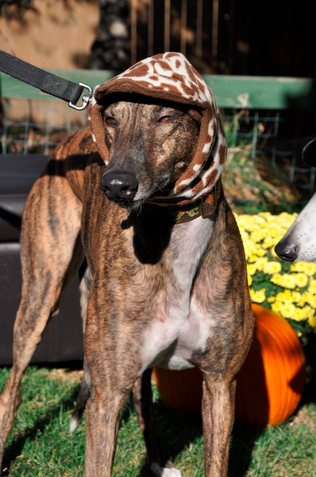 Northern Lights Greyhound Adoption Dog Blog Nlga Photo