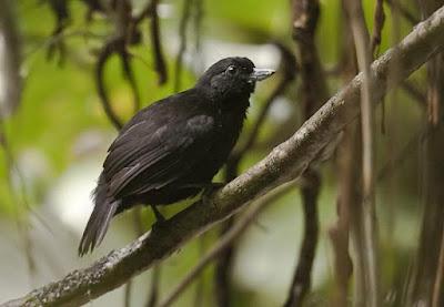 Black Bushbird
