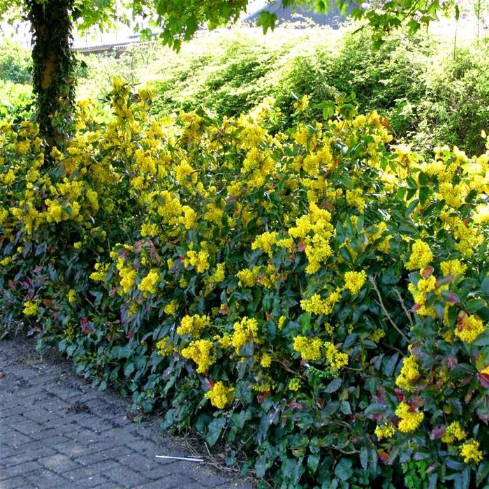 Hortiholi arke mahonia aquifolium o trolisna mahonija for Cespugli da giardino