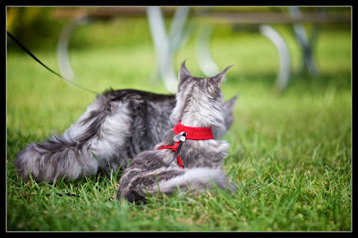 Maine coon kittens on a leash