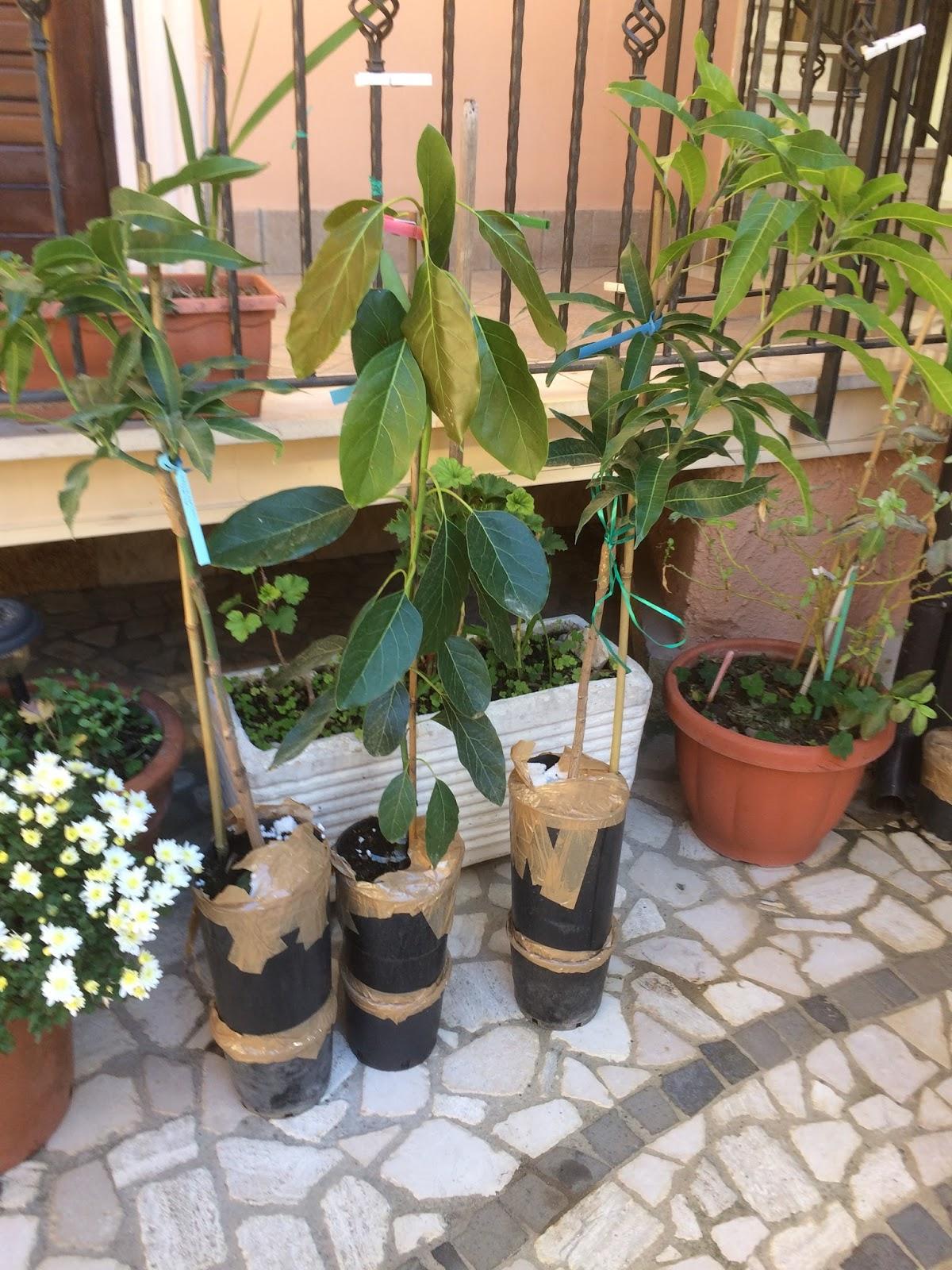 Impianto di mango kensington pride a casoria napoli for Avocado coltivazione