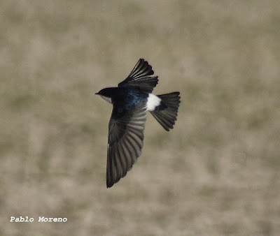 golondrina patagonica