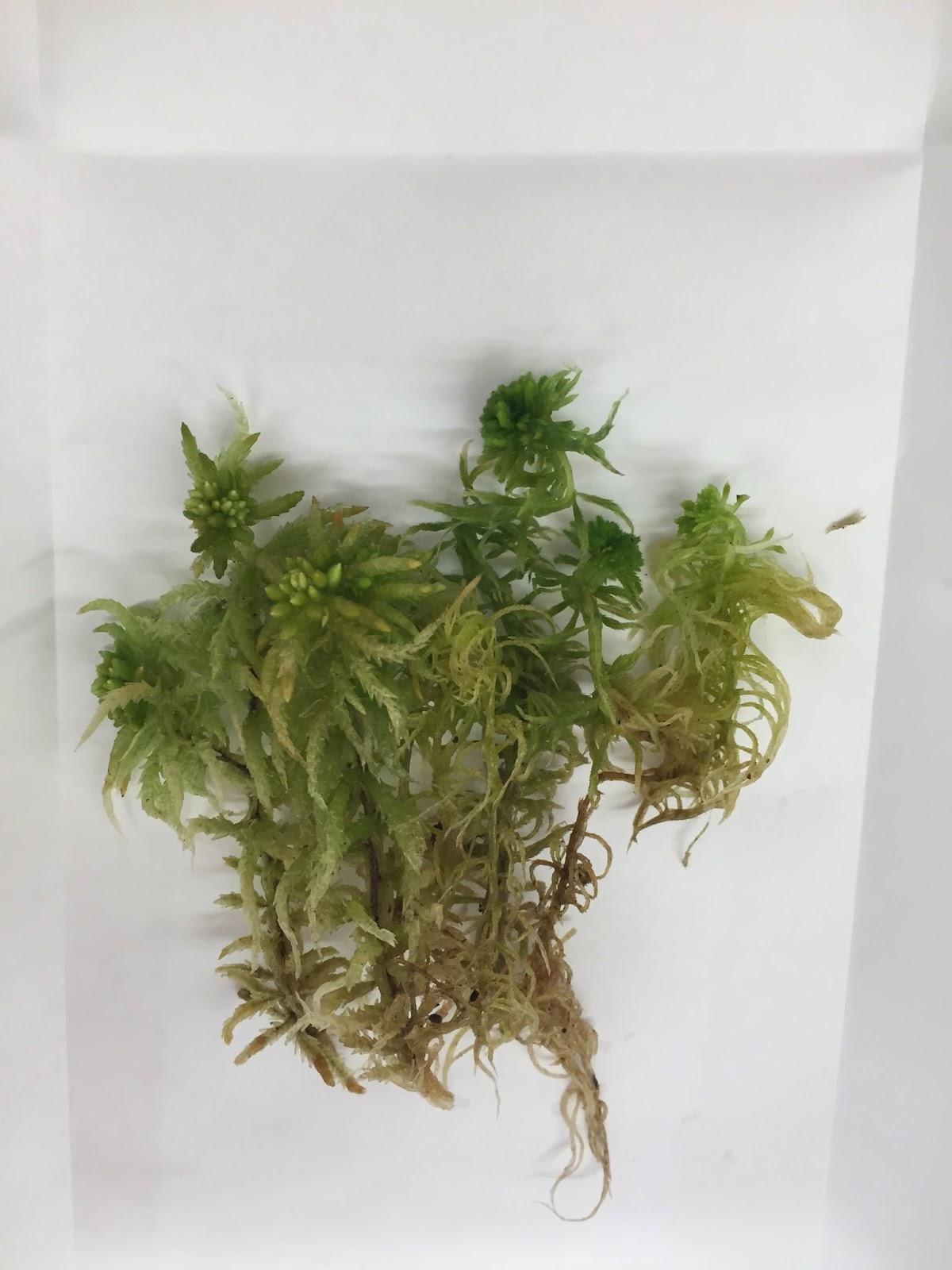 Non Vascular Plants Specimen 5 Sphagnum Palustre