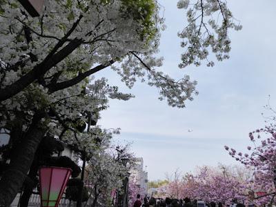 大阪造幣局 桜の通り抜け 飛行機