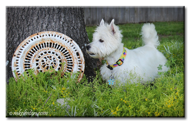 Westie standing in garden full of yellow flowers and white antique drain cover