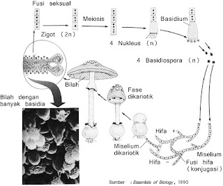 Gambar siklus hidup basidiomycota