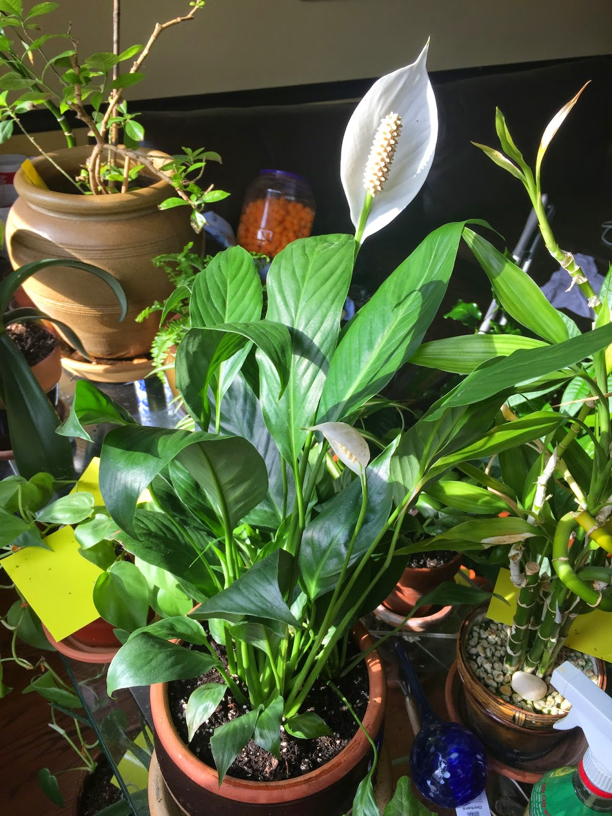 Peace lily spathiphyllum sp best air purifying plant 7 peace lily spathiphyllum sp best air purifying plant 7 indoor gardening my aerogarden and houseplant blog izmirmasajfo