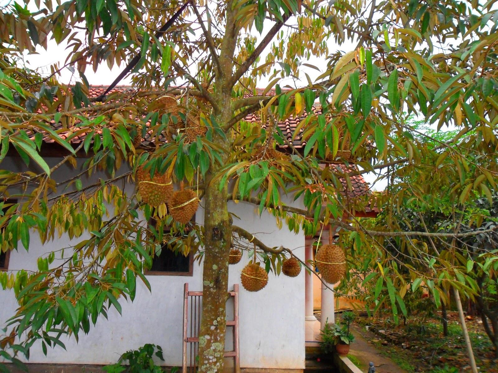 Koleksi Sketsa Gambar Pohon Durin Batang Besar Daun Lebat