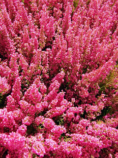 Różowe pole wrzosów