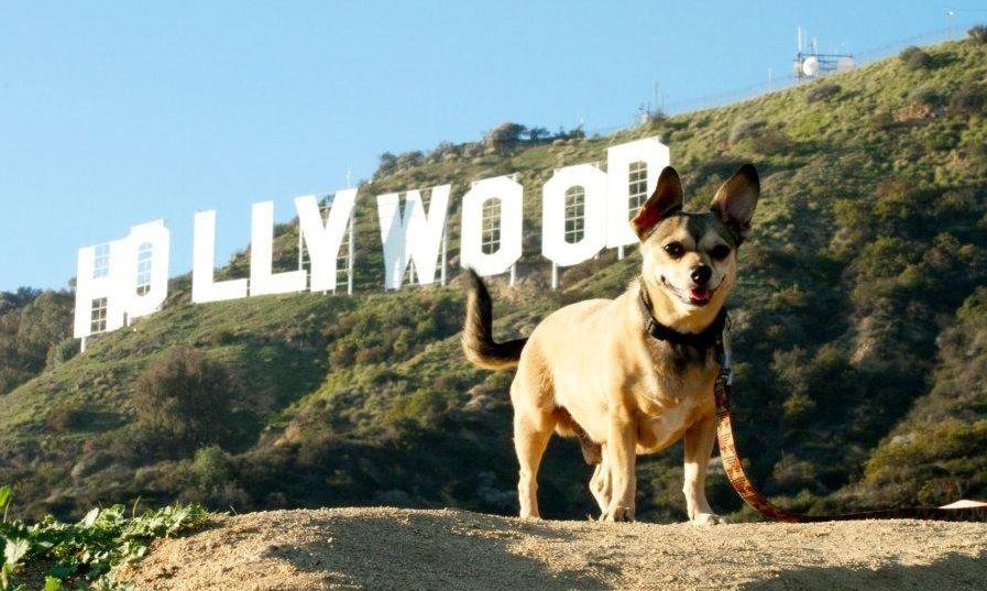 Chihuahua-in-front-of-Hollywood-Sign.jpg (897×537)