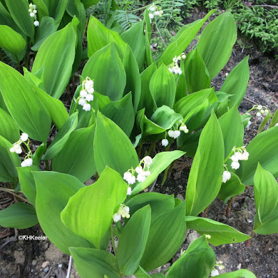 lily of the valley, Convallaria