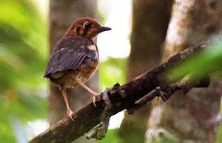 Artikel Jenis - Jenis Burung Anis