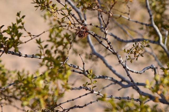 amy myers, journal of a thousand things, photography, desert, larrea tridentata, creosote