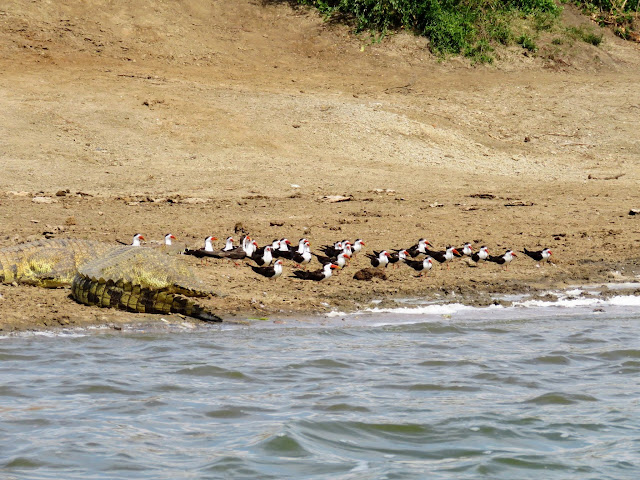 Crocodile next to a flock of African skimmers on the Kazinga Channel in Uganda