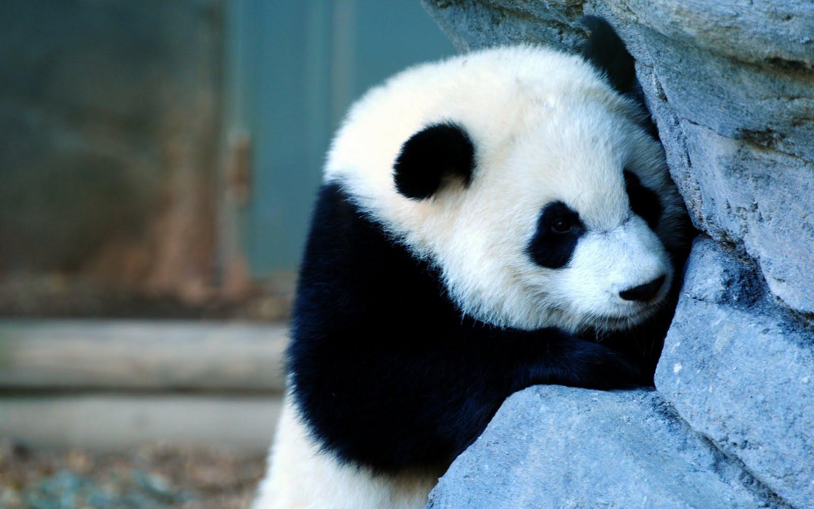 Baby Panda 3d wallpaper ~ 3d wallpapers