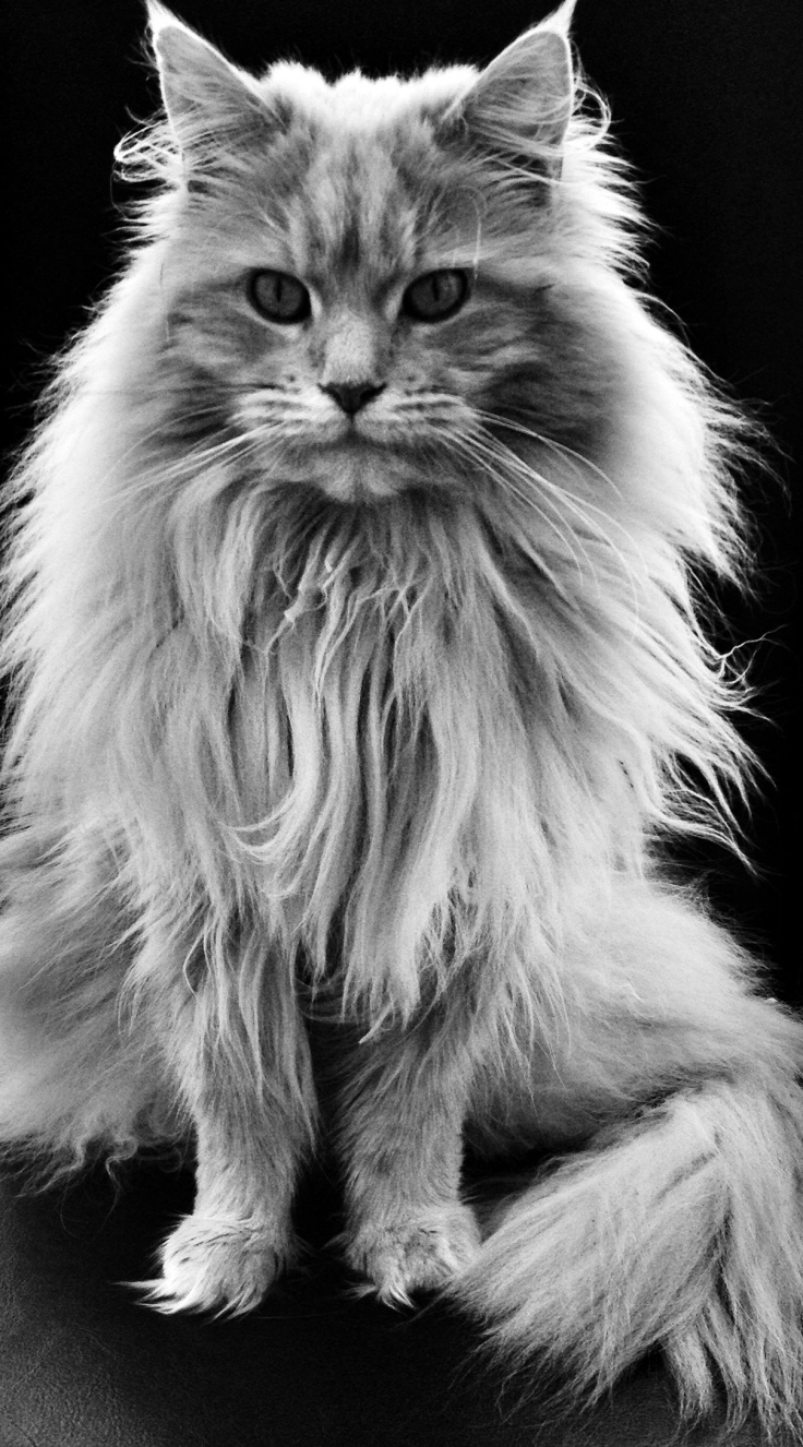 maine coon cat history annie many. Black Bedroom Furniture Sets. Home Design Ideas