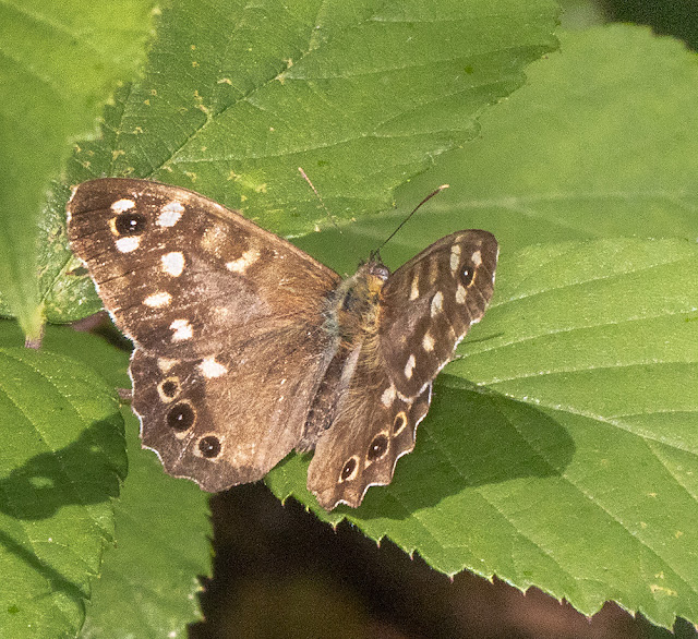 Speckled Wood, Pararge aegeria. Crowborough Country Park, 6 July 2018.