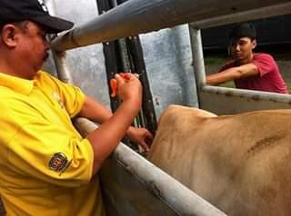 pembibitan/BREEDING pada sapi