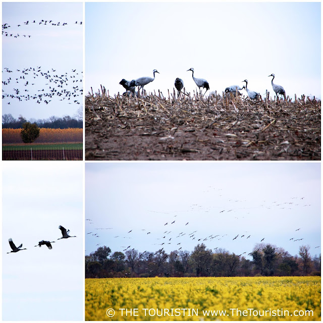 Eurasian cranes flying over canola field and grazing for food.
