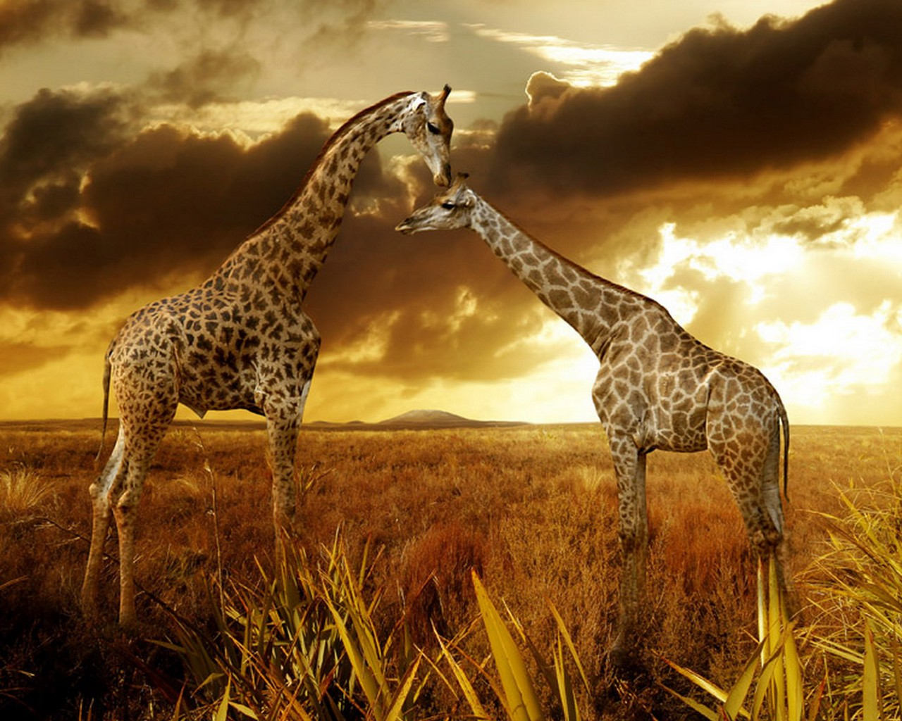 Alli 39 s alley wildlife wednesday giraffe - Moving animal wallpapers ...