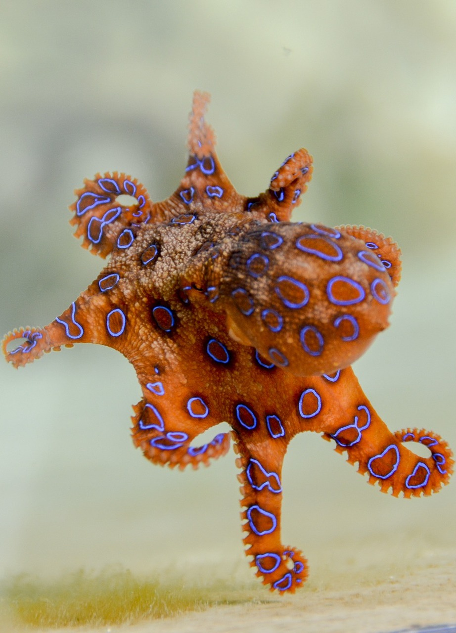 A blue-ringed octopus.
