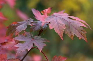 arbres couleurs automne acer autumn blaze