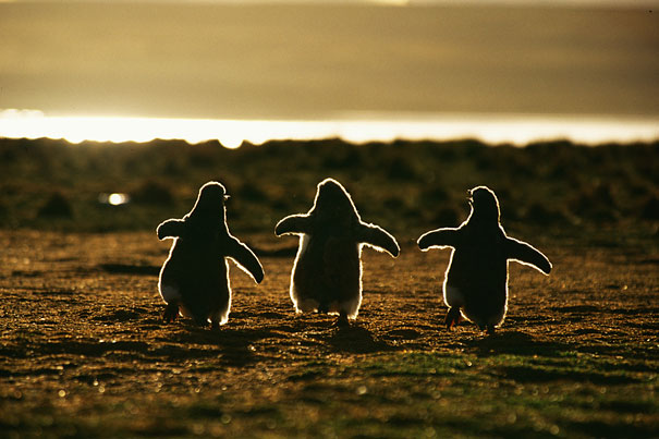 Baby Animals: Baby Penguins