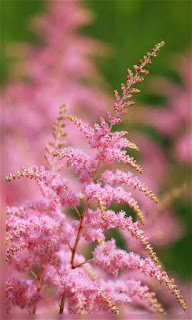 Flores rosa en espiga fondos wallpaper para teléfono móvil resolución 480x800