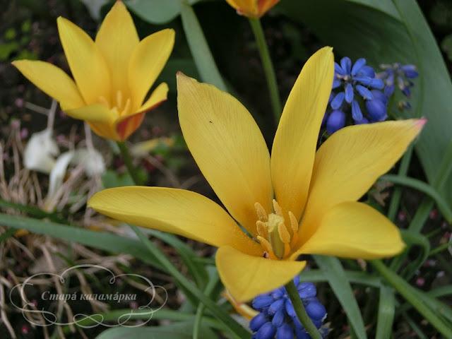 тюльпан Chrysantha, тюльпаны, сад, цветник, тюльпаны в саду, сорта тюльпанов, фото тюльпанов