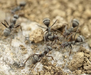Home Remedies for Getting Rid of Ants with Natural Repellent