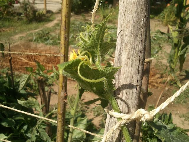 flor do pepino