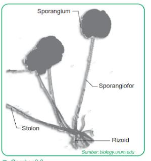 klasifikasi-jamur