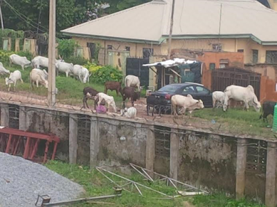 Photos: Herd of cattle seen roaming around Area 1, Abuja
