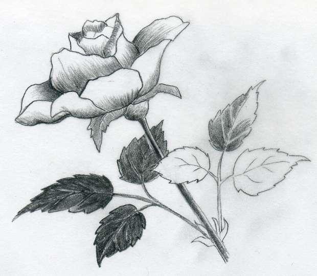 Dessins et coloriages dessin d 39 une rose avec son feuillage - Coloriage d une rose ...