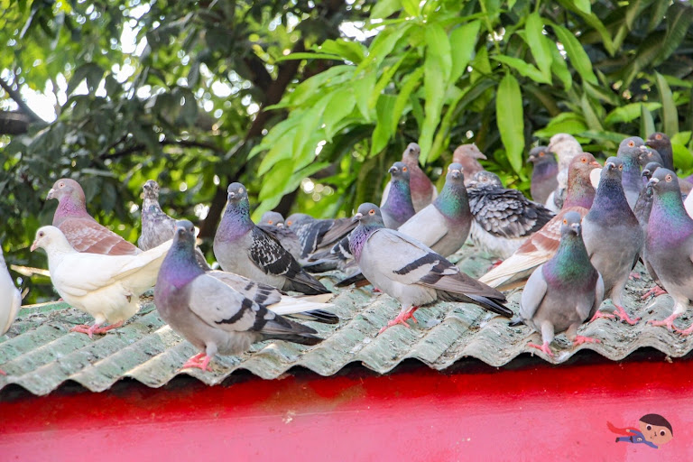 Adorable birds in Rizal Park, Luneta